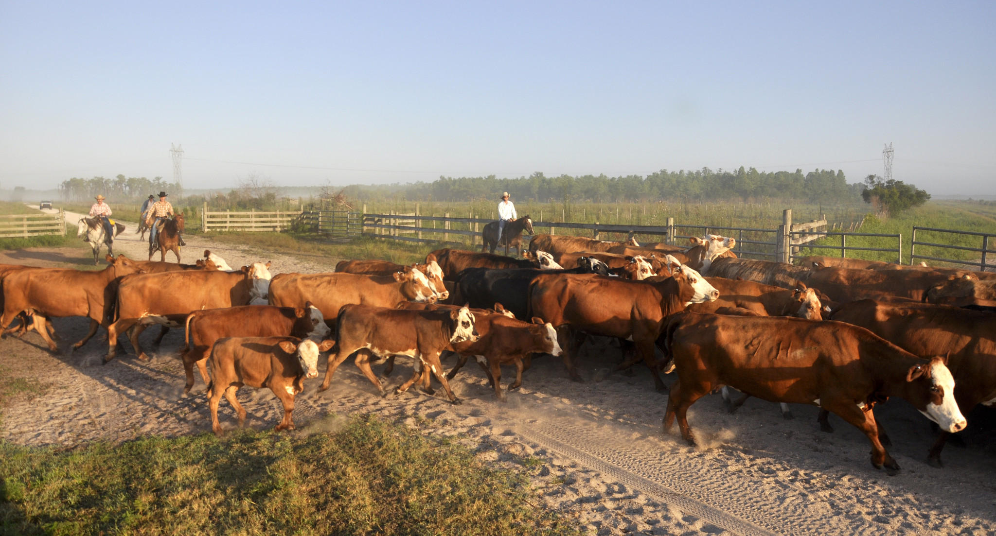 Deseret Ranches Cattle